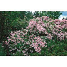 Løvfellende prydbusk med overhengende greiner som overstrøs av rosa, traktformede blomster i juni-juli. Trives best på varm solrik plass i lett jord. Regn med 3-4 år innen den blomstrer rikt.  ...