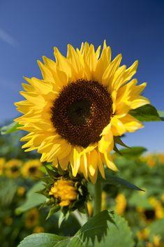 Helianthus-annuus/zonnebloem