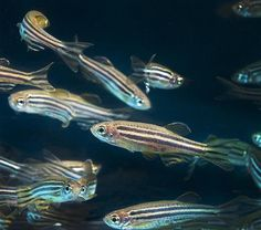 Benzopyrene exposure linked to learning, memory deficits in zebrafish | Extension and Agricultural Research News