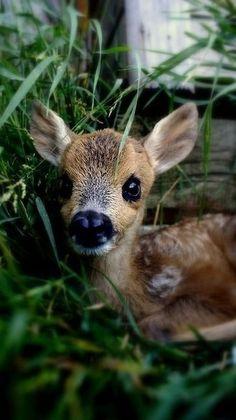 Doe, a deer! A baby deer! Cute Creatures, Beautiful Creatures, Animals Beautiful, Beautiful Eyes, Nature Animals, Animals And Pets, Wild Animals, Cute Baby Animals, Funny Animals
