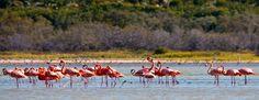Дикие фламинго в лагуне де Овьедо