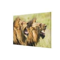$$$ This is great for          	Male lions roaring, Greater Kruger National Canvas Print           	Male lions roaring, Greater Kruger National Canvas Print Yes I can say you are on right site we just collected best shopping store that haveReview          	Male lions roaring, Greater Kruger Na...Cleck Hot Deals >>> http://www.zazzle.com/male_lions_roaring_greater_kruger_national_canvas-192438254524085705?rf=238627982471231924&zbar=1&tc=terrest