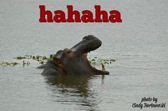 Kruger, hippo,hahaha Hippopotamus, Animals, Pictures, Animales, Animaux, Animal, Animais
