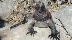 Galapogos Islands Christmas Iguana