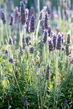 The Best Natural Herbs For Anxiety. Lavender Cottage, Lavender Garden, Lavender Fields, Lavender Color, Lavender Flowers, Pretty Flowers, Purple Flowers, Lavander, Lavender Crafts