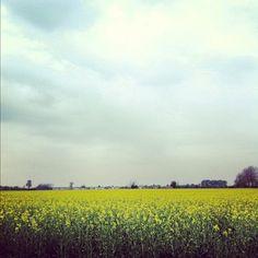 Yellow field, grey sky