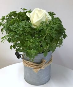 Rose & Basilkum Ein schönes Duett – als Geschenk oder Dekoration für Zuhause