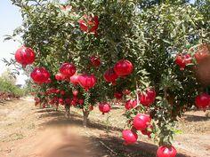 1280px-Anar(Pomegranate)