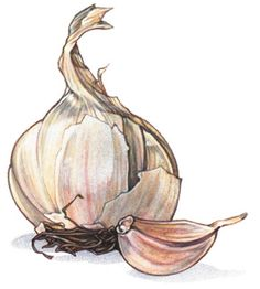 drawing of garlic bulb