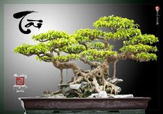 Bonsai trees and plants are basically trees and plants that are pruned and trimmed to keep their size minimal. Buy Bonsai Tree, Bonsai Ficus, Mini Bonsai, Bonsai Art, Bonsai Plants, Bonsai Garden, Bonsai Trees, Miniature Trees, Tree Art