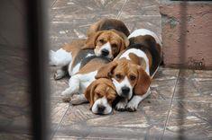 Pile them higher...still not enough ♥ #Beagle