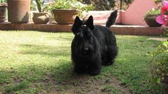 Mi Scottish terrier in the garden.