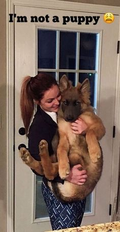 This German Shepherd doesn't look happy.