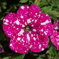 Image of Petunia Pink Sky, I bought it at Calloway's March 2017. Related to Night Sky which is purple.