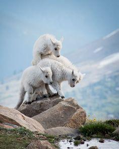 21 Mountain Sheep And Goats Ideas Goats Animals Wild Animals