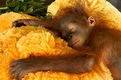 Adorable Baby Orangutan Sleeping Tight up close to a Teddy Bear Surrogate Mum Primates, Cute Baby Animals, Animals And Pets, Funny Animals, Animal Babies, Baby Orangutan, Chimpanzee, Save The Orangutans, Ape Monkey