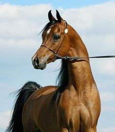 Top 10 Rare Horse Breeds | Arabian Breed This breed belongs to the Netherlands and is one among the top 10 horse breeds