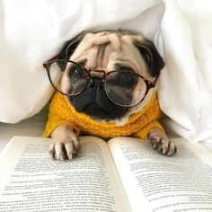 Pug dog with reading glasses