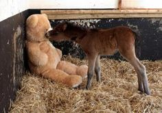 Breeze, a small, sickly foal, who was discovered by farmers in Dartmoore Hill in England, has been given a new stuffed toy to serve as a surrogate mother.