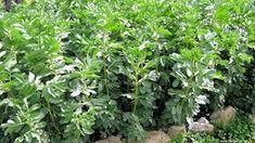 Κουκιά σπορά φύτεμα καλλιέργεια Herbs, Yoga Pants, Plants, Gardening, Lawn And Garden, Herb, Plant, Planets, Horticulture