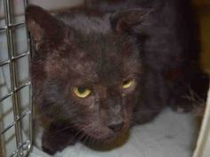 WOOWOO IS 13 YEARS OLD AND FIV POSITIVE - HIS OWNER DUMPED HIM FOR PET HEALTH AFTER ALL THOSE YEARS!  WOOWOO IS ALREADY NEUTERED AND IS FRIENDLY AND RELAXED.  FIV KITTIES CAN LIVE WITH NON FIV KITTIES.  WOOWOO IS HOPING THAT SOMEONE OUT THERE NEEDS A CUDDLE BUDDY FOR THE COLD WINTER NIGHTS AND WILL INVITE HIM TO THEIR HOME.  WOOWOO NEEDS YOU TODAY - EMAIL HELPCATS@URGENTPODR.ORG FOR RESCUE INFO.