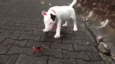 """The grandson of """"Spuds"""" MacKenzie, spokesdog for Budweiser beer, has discovered that it's fiddler crab season.  Be careful there, """"little Spud"""", that crab wants to cut youl."""