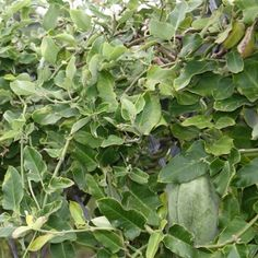 Invasive Species South Africa - Protecting Biodiversity from Invasion - Moth catcher Alien Plants, Invasive Plants, Plant Species, Compost, Catcher, Moth, Den, South Africa, Reading