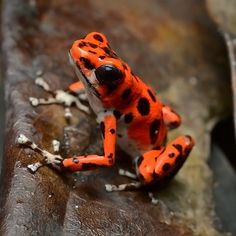 Poison Dart Frogs   22 Colorful Animals Who Look Too Beautiful To Be Real