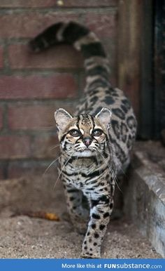 Margay cat, very rare, often confused with ocelot. ---this is the only cat whose hind legs rotate 180 degrees, allowing them to run headfirst down trees. - Wow definitely thought it really was an ocelot! Crazy Cats, Big Cats, Cats And Kittens, Cute Cats, Kitty Cats, Ragdoll Kittens, Tabby Cats, Bengal Cats, White Kittens