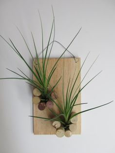 Tillandsia Fasciculata on Plaque with Corks by Craft Organic, available at: https://www.etsy.com/shop/CraftOrganic