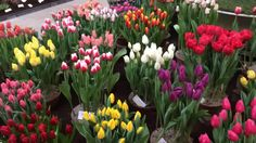 Tulips in Holland at Lenteflora Lisse part 1 - 19 feb 2016