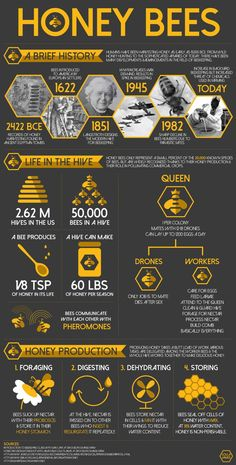 Bee Infographic - Nice graphic design elements and hierarchy. Bee Life Cycle, Beekeeping For Beginners, Raising Bees, I Love Bees, Backyard Beekeeping, Bee Friendly, Bee Happy, Save The Bees, Queen Bees