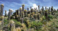 Comunidad de frailejones de Espeletia hartwegiana, en los alrededores de la laguna del Otún.