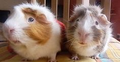 What we have here are two very special guinea pigs, and their dad decided to have a little fun with them in front of the camera. Good thing, because now the results are going viral — thrusting these two little munchkins into the spotlight where they so rightly belong. Watch as two talkative guinea p...