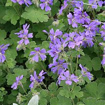 Geranium 'Philippe Vapelle', sun/shade, alkaline, dry or moist. Might sub in Roxanne.
