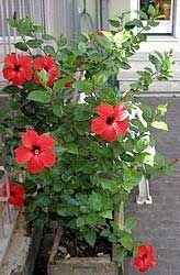 Hibisco, Rosa de China, Pacífico, Cardenales, Flor del beso Hibiscus Rosa Sinensis, Tropical Plants, Tropical Flowers, Rosa China, Garden Trellis, Container Gardening, Organic Gardening, Shrubs, Book Art