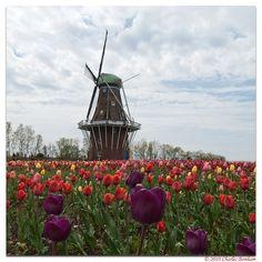 Holland | Tulip & Windmill