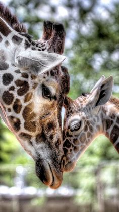 Gorgeous babies in the wild - Giraffes