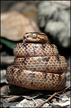 Taiwan slug #snake. Pareas formosensis  #reptile