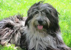 Bergamasco Sheepdog 04
