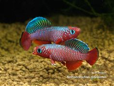 Nothobranchius rubripinnis.  This is a sweet Notho.  Two males in a competitive dance.