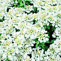 Herbaceous, heather and alpine plants bring texture and colour to your garden. Alpine Plants, Herbaceous Perennials, Seeds, Bulb, Garden, Onion, Garten, Lawn And Garden, Grains