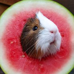 My hoomans did warn me if I kept eating so much watermelon I might turn into one. I thought they were joking 🐹😳🍉🙊 _______________________________________ 📷 IG: Mycrazypiggieaddiction 💙 Baby Guinea Pigs, Guinea Pig Toys, Guinea Pig Care, Baby Pigs, Super Cute Animals, Cute Little Animals, Baby Animals Pictures, Funny Animal Pictures, Happy Animals