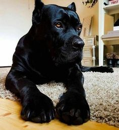 Check out a some of our amazing Featured Cane Corso Breeds we Love! Chien Cane Corso, Cane Corso Dog, Cane Corso Puppies, Cane Corso Mastiff, Cane Corso Italian Mastiff, Cute Puppies, Cute Dogs, Dogs And Puppies, Doggies