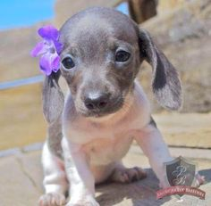 Dachshund puppy - Blue Girl. Sooo adorable!