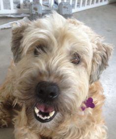 Keeva, wheaten terrier