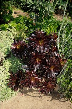 Top 10 Black Plants and Flowers to Add Drama to Your Garden Full Sun Planters, Front Porch Plants, Garden Playhouse, Cactus, Black Flowers, Unique Flowers, Beautiful Flowers, Beautiful Pictures, Gardens