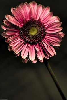 Gerber daisy, I used to take these to my grandmother when I worked for a florist. Leaf Images, Flower Images, Flower Photos, Flower Art, Amazing Flowers, Colorful Flowers, Pink Flowers, Beautiful Flowers, Floral Photography