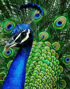 Beautiful peacock.
