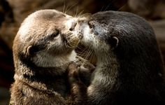 These adorable romancers. 33 Times Otters Saved The World Just By Being Adorable Cut Animals, Animals And Pets, Baby Animals, Otters Cute, Baby Otters, Pet Raccoon, Otter Love, Lovely Creatures, Sea Otter